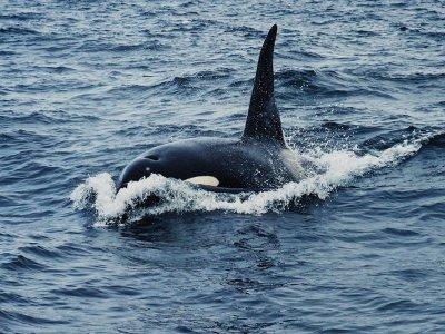 Spot orka's in Nieuw-Zeeland